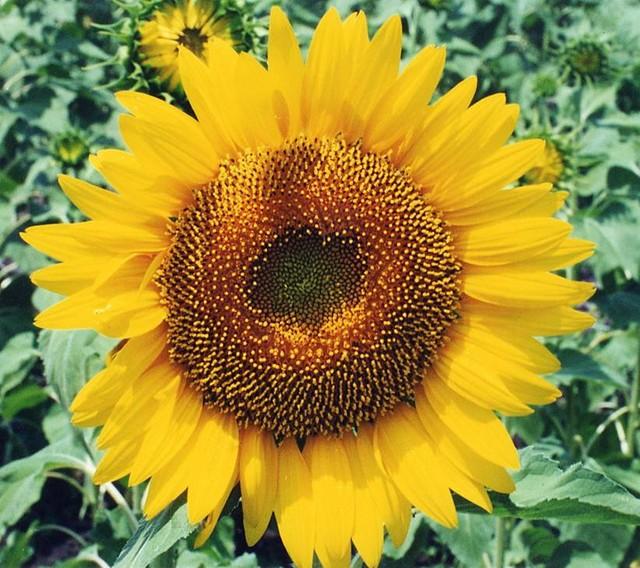 صور ورد دوار الشمس , معلومات عن ورد تباع الشمس