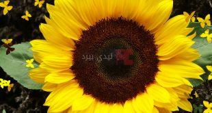 بالصور ورد دوار الشمس , معلومات عن ورد تباع الشمس 4598 12 310x165