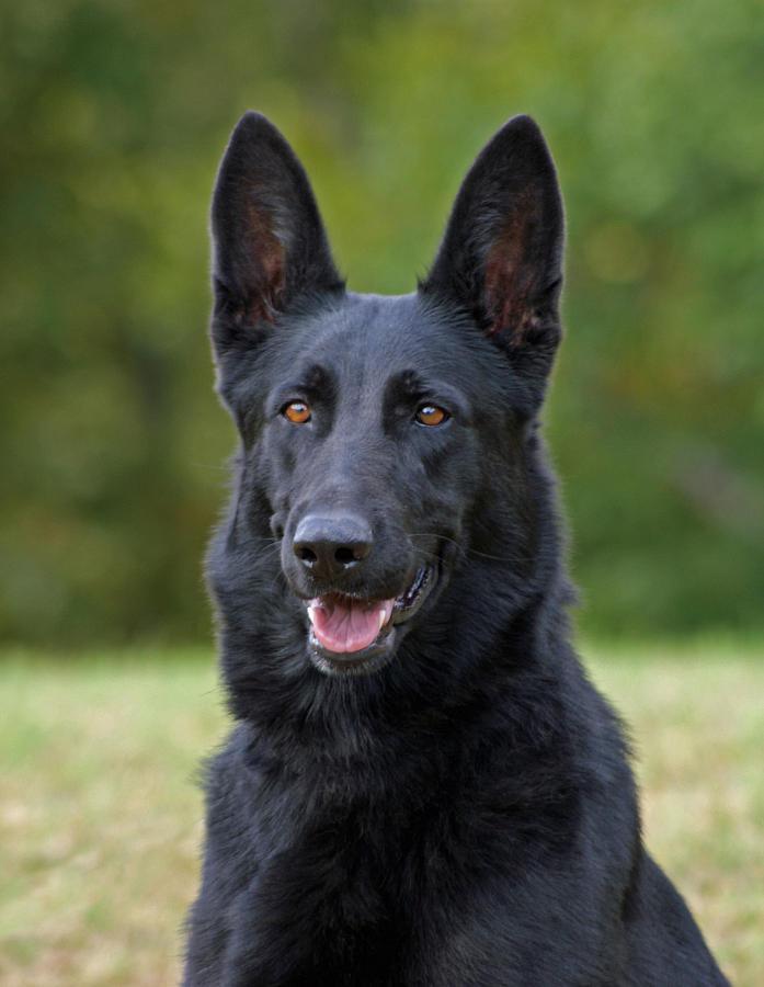 full black german shepherd - 542×700