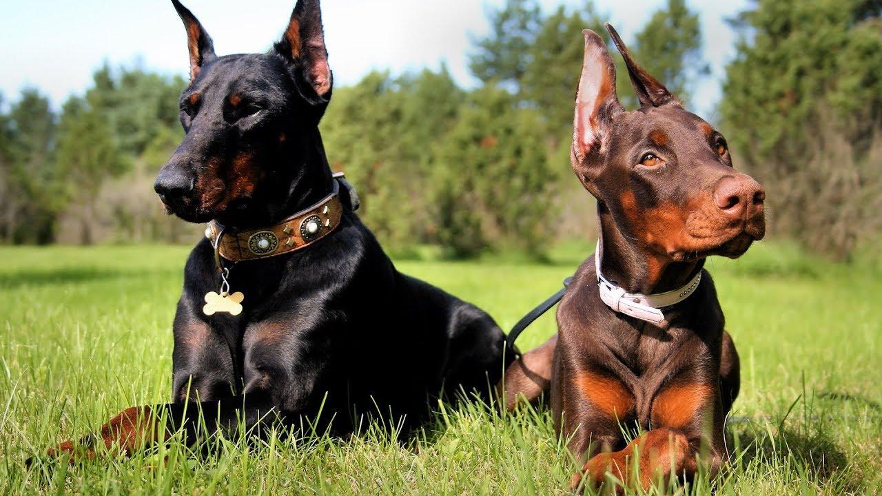 صور صور كلاب دوبر مان , رمزبات كلاب دوبر مان للفيس بوك