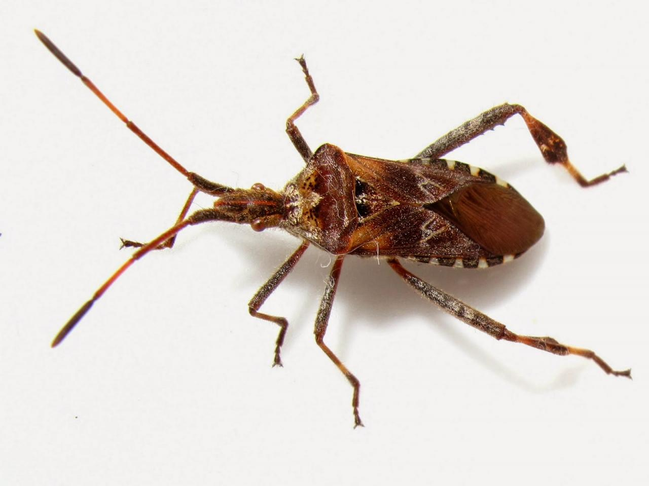 بالصور صور حشرة البق , التخلص من البق نهائيا 2391 2