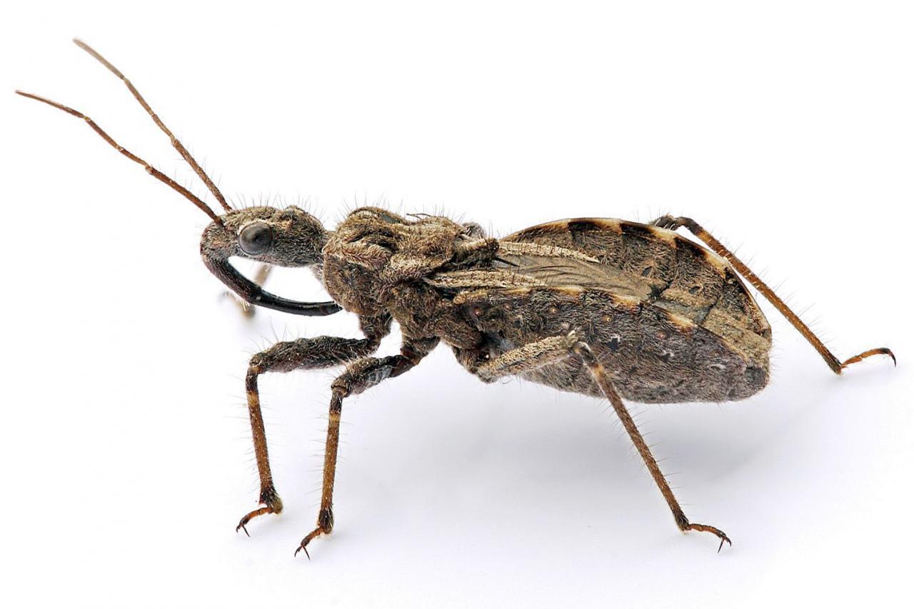 بالصور صور حشرة البق , التخلص من البق نهائيا 2391 3