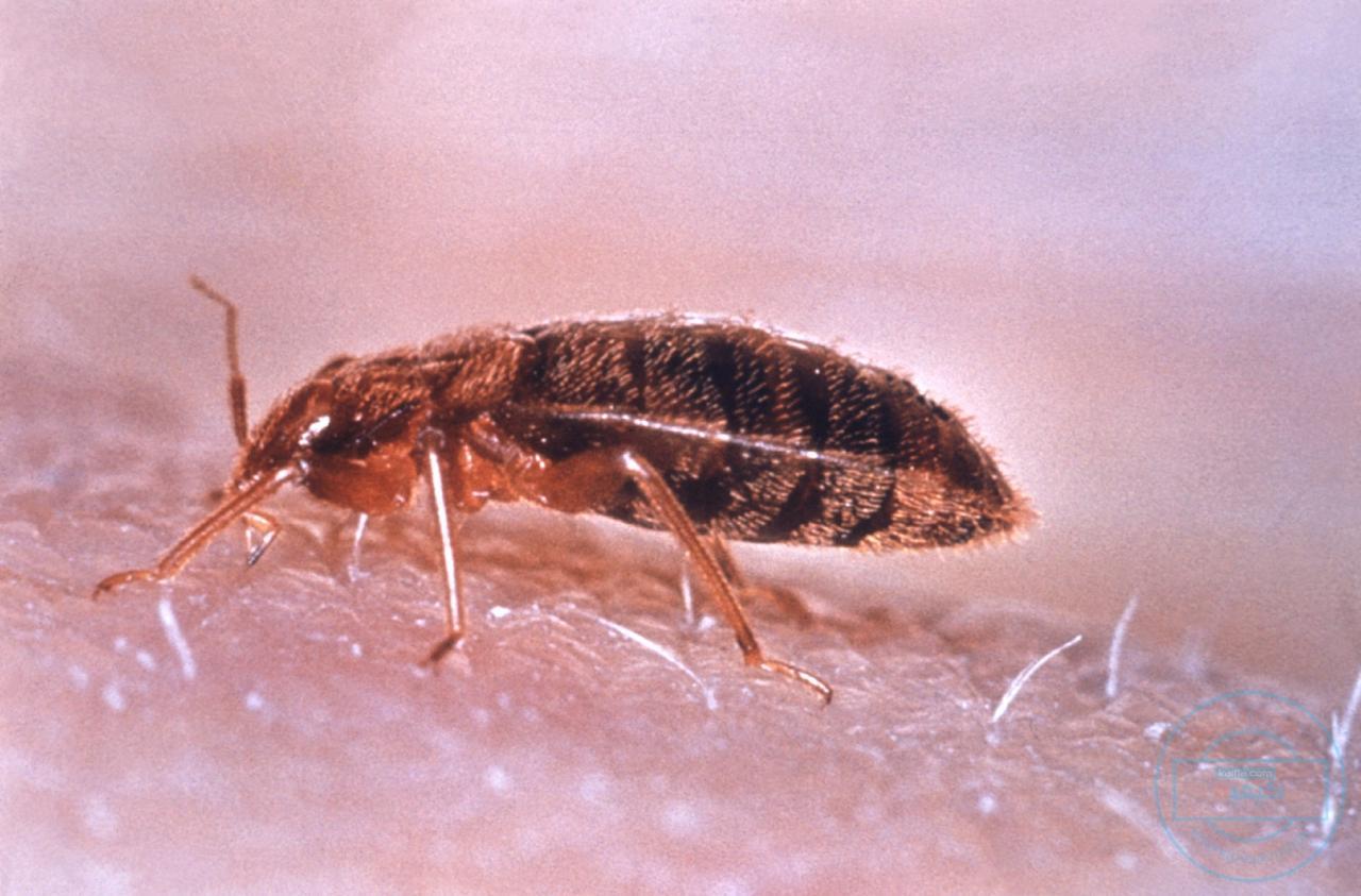 بالصور صور حشرة البق , التخلص من البق نهائيا 2391 4