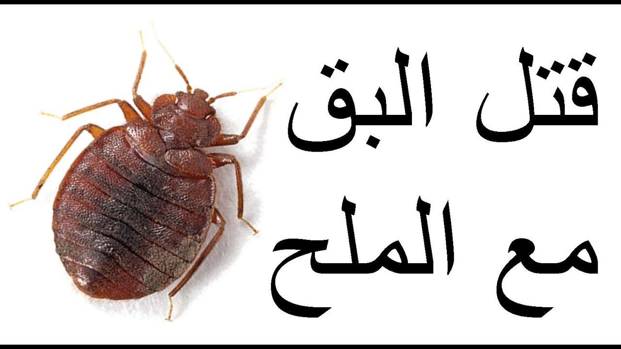 بالصور صور حشرة البق , التخلص من البق نهائيا 2391 5
