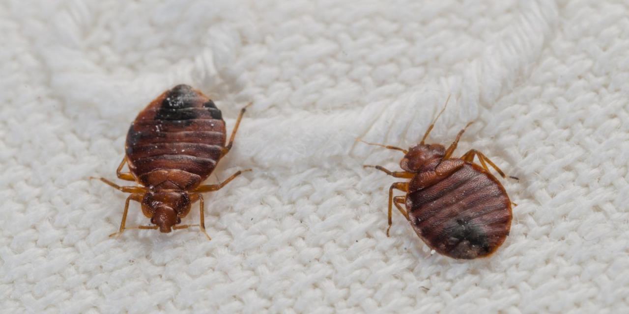 بالصور صور حشرة البق , التخلص من البق نهائيا 2391 7