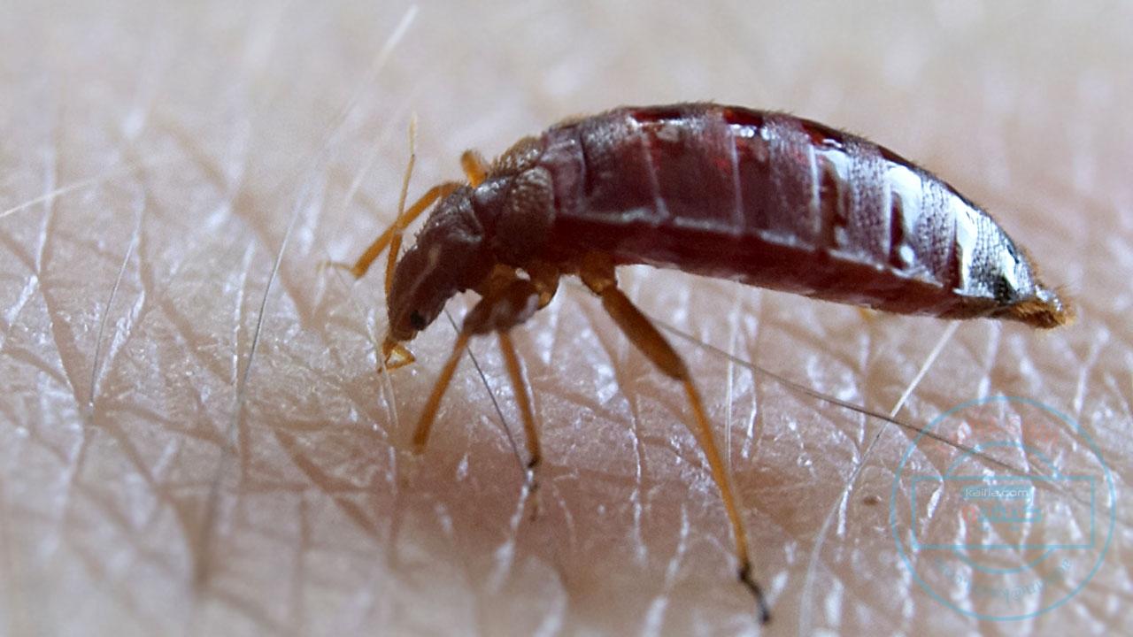 بالصور صور حشرة البق , التخلص من البق نهائيا 2391 8