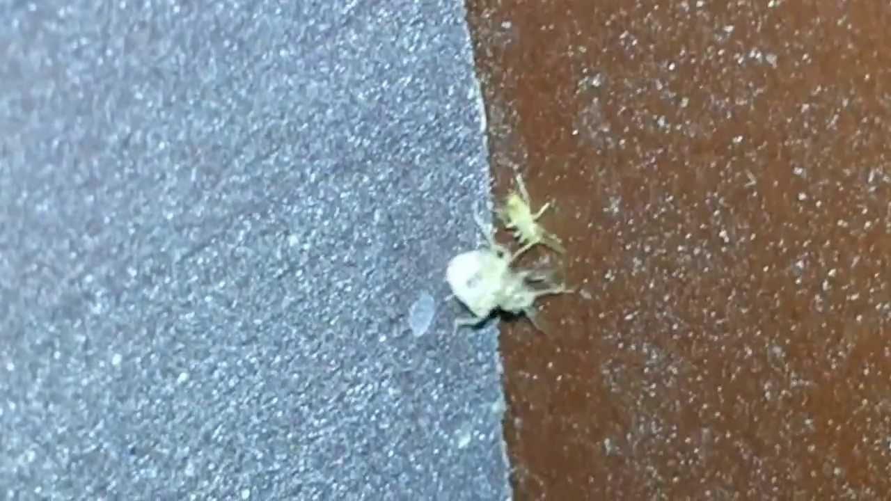 بالصور صور حشرة البق , التخلص من البق نهائيا 2391 9