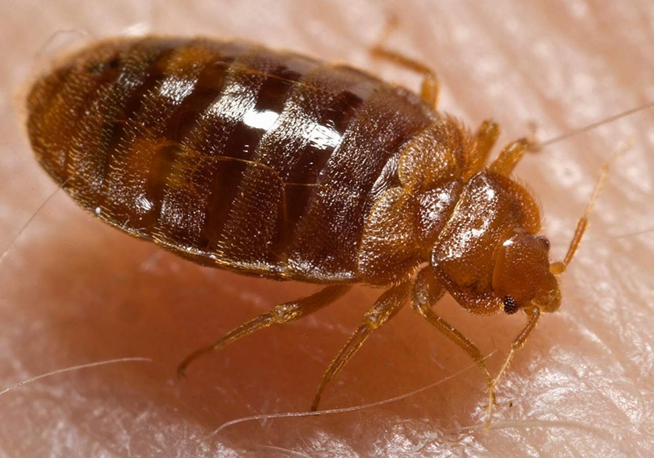 صور صور حشرة البق , التخلص من البق نهائيا