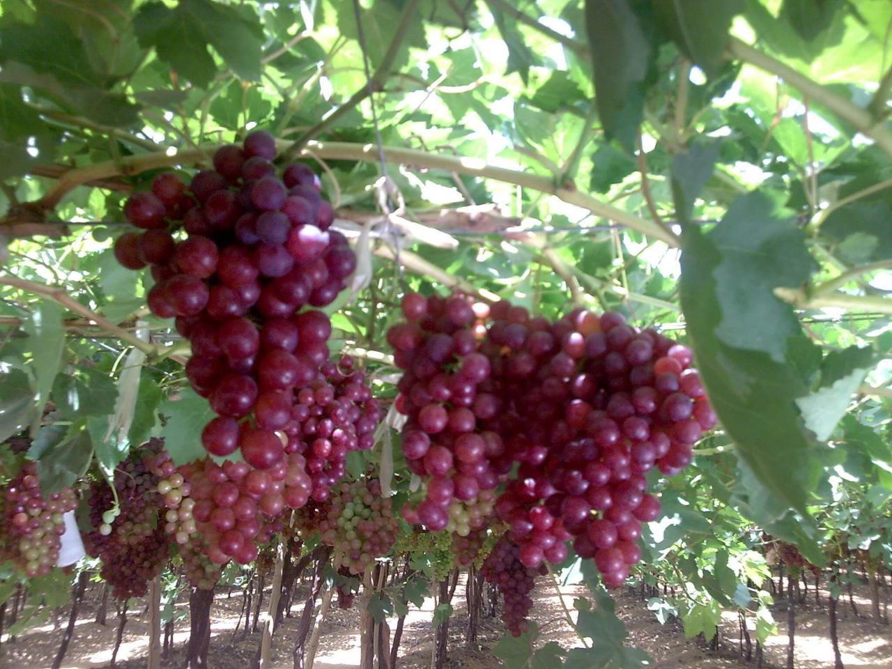 صورة زراعة العنب في المنزل , الوقت المناسب لزراعه العنب 2454 11