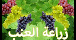 صورة زراعة العنب في المنزل , الوقت المناسب لزراعه العنب