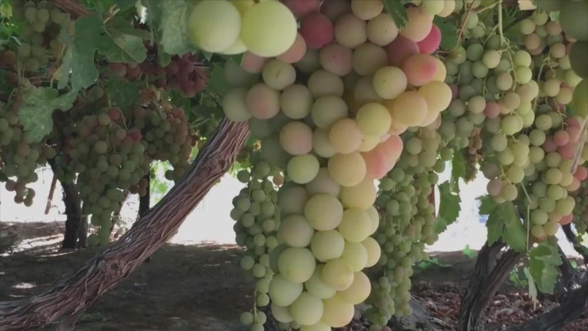صور زراعة العنب في المنزل , الوقت المناسب لزراعه العنب