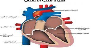 صورة معدل انزيمات القلب الطبيعي , تعريف انزيمات القلب