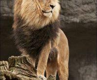 صور الاسم العلمي للاسد , ملك الغابة اسمه العلمي ايه يا ترى
