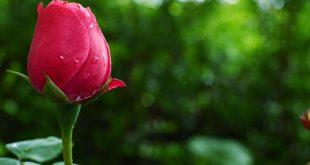 صور صور الورد الاحمر , صور لورد الحب