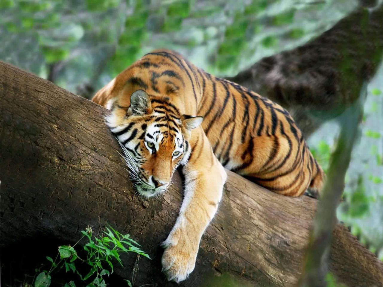 صور اجمل صور النمور , اشرس حيوان في الغابات