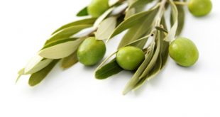 صورة فوائد ورق الزيتون للرجيم , طريقه للتخسيس طبيعيه
