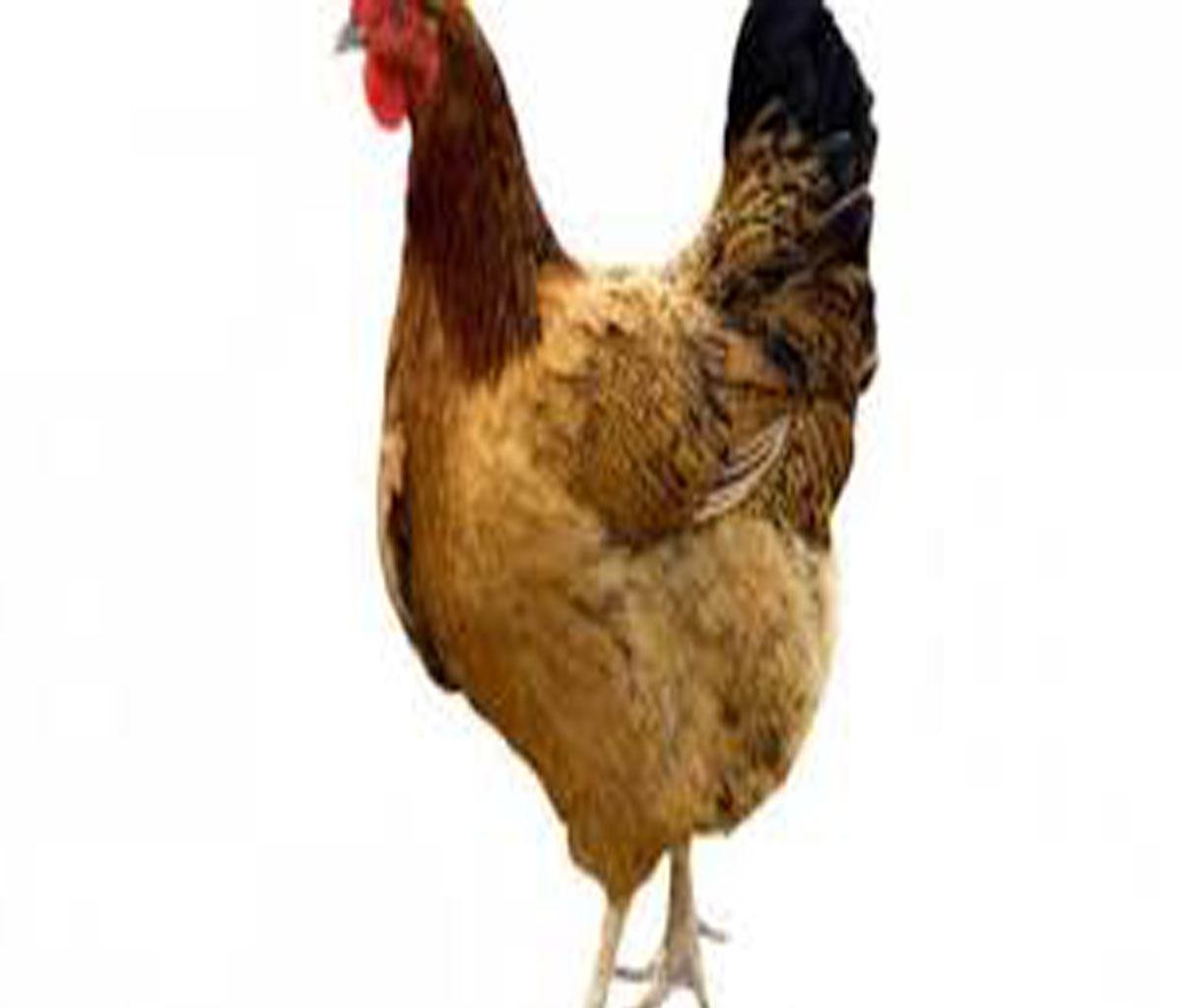 صور تفسير رؤية الدجاج الحي في المنام , اهم الاشياء فى تفسيرالدجاج الحى