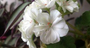 صورة ورد بنفسجي وابيض , رومانسيه الحب فى الورد البنفسج والابيض