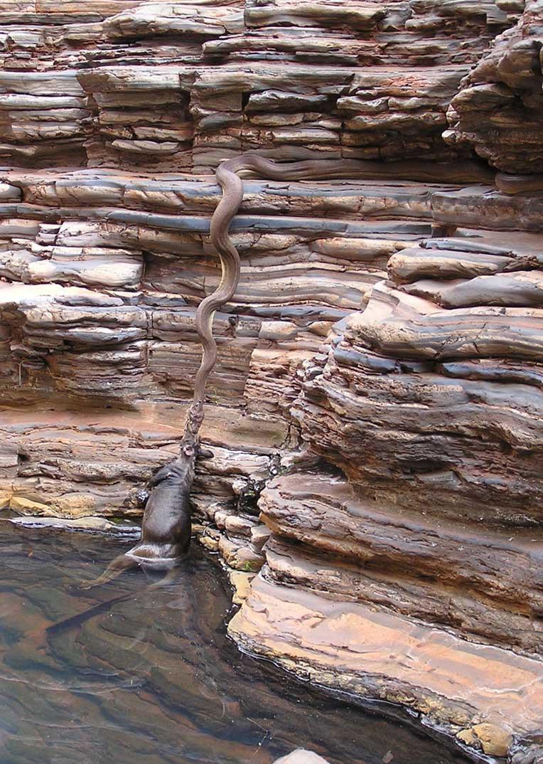 صورة اكبر ثعبان في اليمن , شاهد معجزه فى اليمن