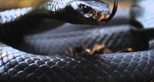 صور تفسير حلم الافعى السوداء في البيت , وجود الثعبان الاسود فى المنام