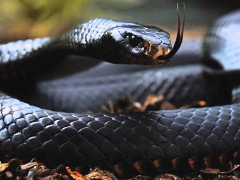 صورة تفسير حلم الافعى السوداء في البيت , وجود الثعبان الاسود فى المنام