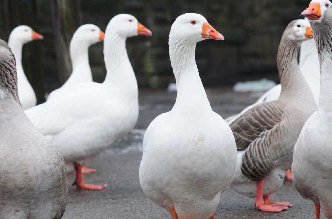 صورة الفرق بين البط والوز , صفات البط والوز والاختلاف بينهم