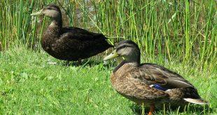 صور الفرق بين البط والوز , صفات البط والوز والاختلاف بينهم