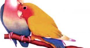 صور صور طيور حب , اجمل صور لطيور الكنارى