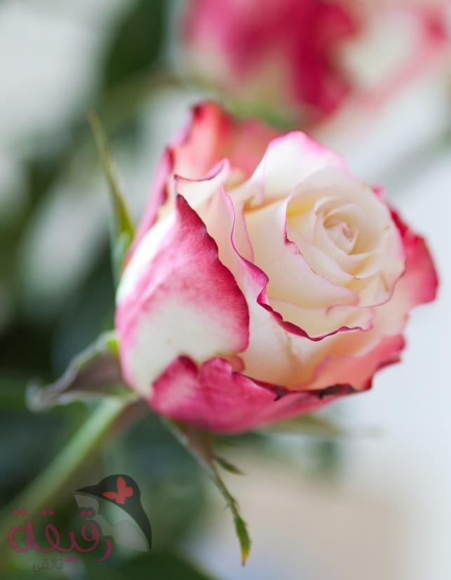 صور صور ورد رقيقه , اجمل صور الورود الرقيقة