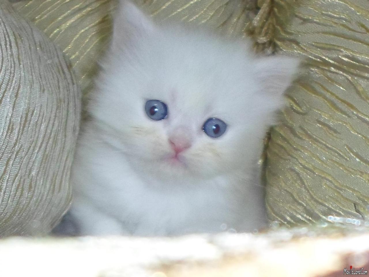 صورة انواع القطط الشيرازى بالصور واسعارها , صور اجمل انواع القطط الشيرازى