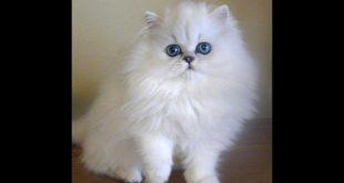 صور انواع القطط الشيرازى بالصور واسعارها , صور اجمل انواع القطط الشيرازى