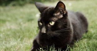 صورة القط الاسود في المنام , حلمت اني رايت القط الاسود