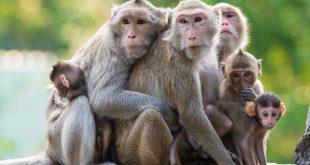 تفسير حلم القرد , حلمت اني رايت القرد