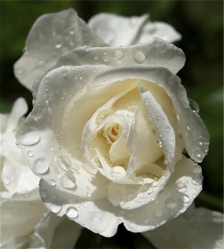 صورة اجمل وردة بيضاء , وردة جميلة جدا باللون الابيض