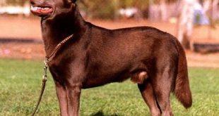 صورة صور كلاب شرسه , انواع الكلاب الشرسة