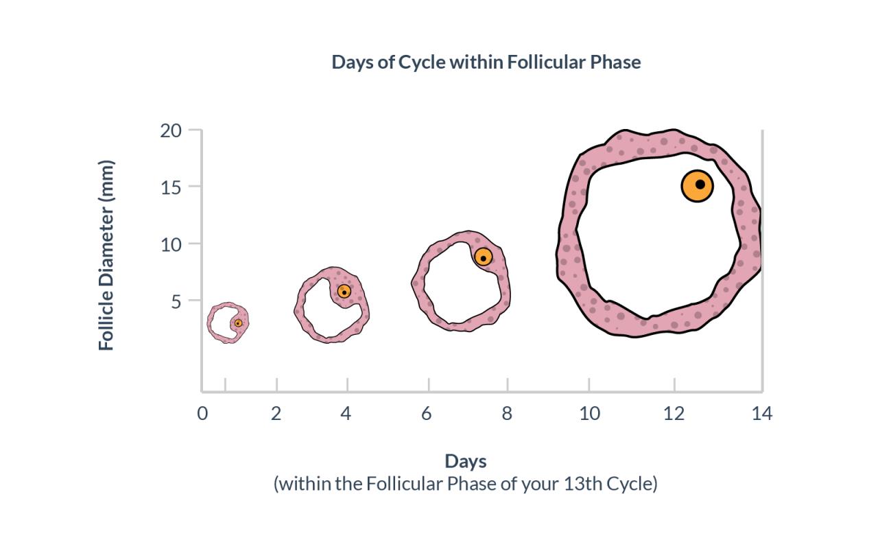 صورة حجم البويضة 22 هل يحدث حمل , احتمال كبير يحدث حمل