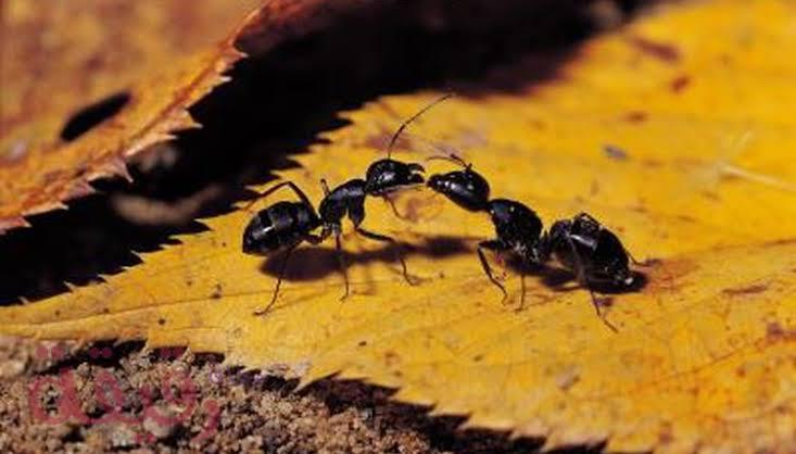 صورة علاج النمل الاسود , اجعلي منزلك خالي من النمل