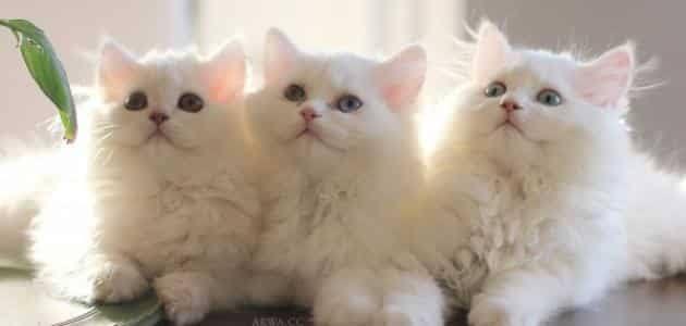 صورة تفسير الاحلام القطة البيضاء , حلمت بقطة لونها ابيض