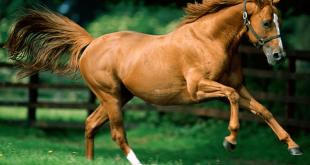 صورة رأيت حصان جميل في حلمي , تفسير حلم الحصان في المنام