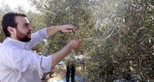 صورة احلى الكلمات عن هذه الشجرة الرائعه , خاطرة عن شجرة الزيتون