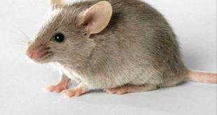 الفئران في الحلم لابن سيرين