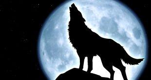 الذئب الاسود في المنام