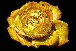 صورة وردة من ذهب   اجمل وردة من ذهب 3700 2 246x165